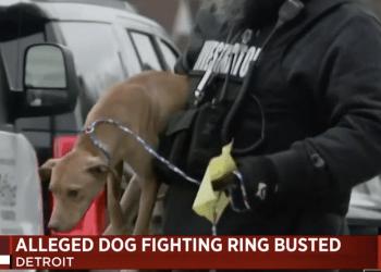 dogfighting ring
