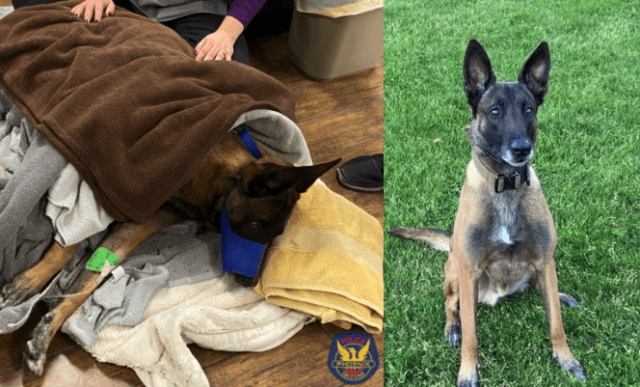 Phoenix K9 wounded